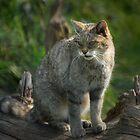 Scottish Wildcat (Endangered Specie 400 left) by ©FoxfireGallery / FloorOne Photography
