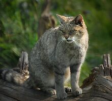 Scottish Wildcat (Endangered Specie 400 left) by ©FoxfireGallery / FloorOne Photography
