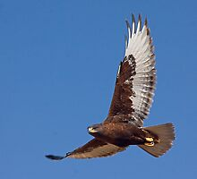 Dark morph Ferruginous Hawk by Marvin Collins