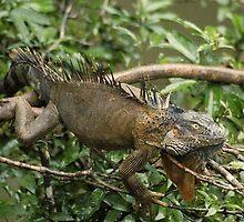 Green Iguana by Dennis Stewart