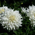 White Dahlia's by Debra LINKEVICS