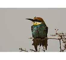 European Bee-Eater Photographic Print