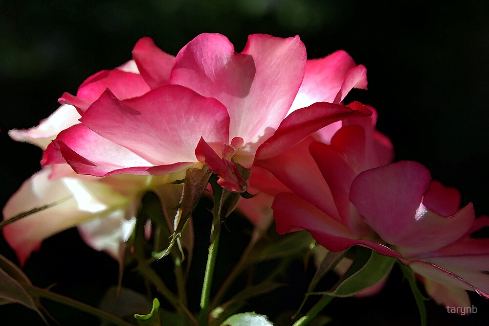Pink and White RoseTrio by tarynb