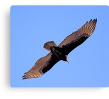 Turkey Vulture Canvas Print