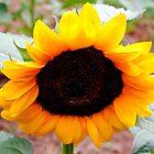 Sunflower by Tracey Hampton