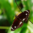 Oleander Butterfly by CBoyle