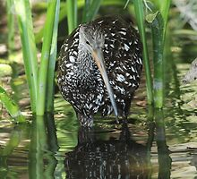 Limpkin on the hunt by Carol Bailey White