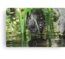 Limpkin on the hunt Canvas Print