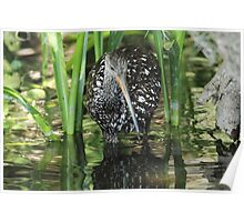 Limpkin on the hunt Poster