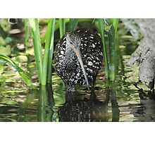 Limpkin on the hunt Photographic Print
