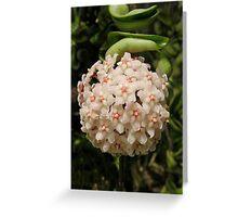 Hoya ball of flowers Greeting Card