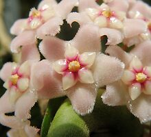Hoya macro by CapturedByKylie