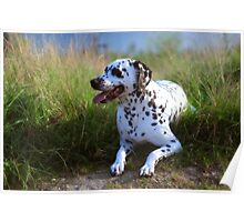 Rest in the Grass. Kokkie. Dalmatian Dog Poster