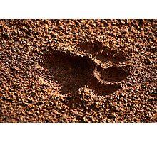 Panthera Leo Photographic Print