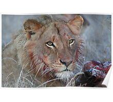 Lion - Kruger National Park, South Africa, July 2008 Poster