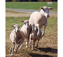 Leaping Sheep Photographic Print