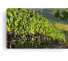 Chianti vinyard Canvas Print