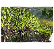 Chianti vinyard Poster