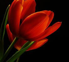 The Tulips  by AnaCBStudio