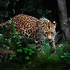 Amur Leopard (Panthera pardus orientalis)  by FoxfireGallery / FloorOne Photography