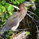 Green Heron by Virginia N. Fred