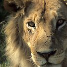 Lion&#x27;s head, male, close up by cascoly