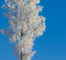 White birch Sticker