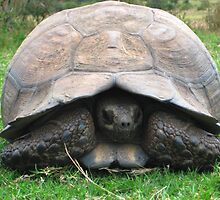 African Giant Tortoise by Dan Broome