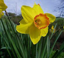 daffodils by Nicole M. Spaulding