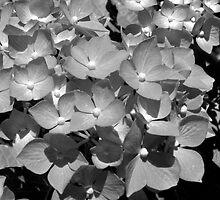 hydrangea by Nicole M. Spaulding