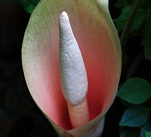 Snake Plant Flower-6212  (Amorphophallus bulbifer) by Barbara Harris