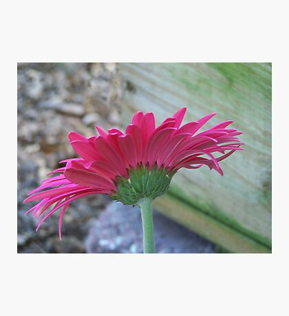 Pink Affair Photographic Print