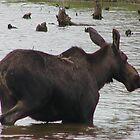 Moose by JTrask