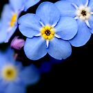 Forget Me Not by sarah ward