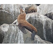 California Sea Lion Photographic Print