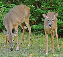 Deer at Lily Bay State Park, Maine by Dan Hatch