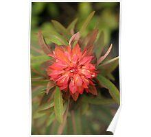 Euphorbia 'Fireglow' Poster