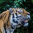 Tiger Roaring by liberthine01