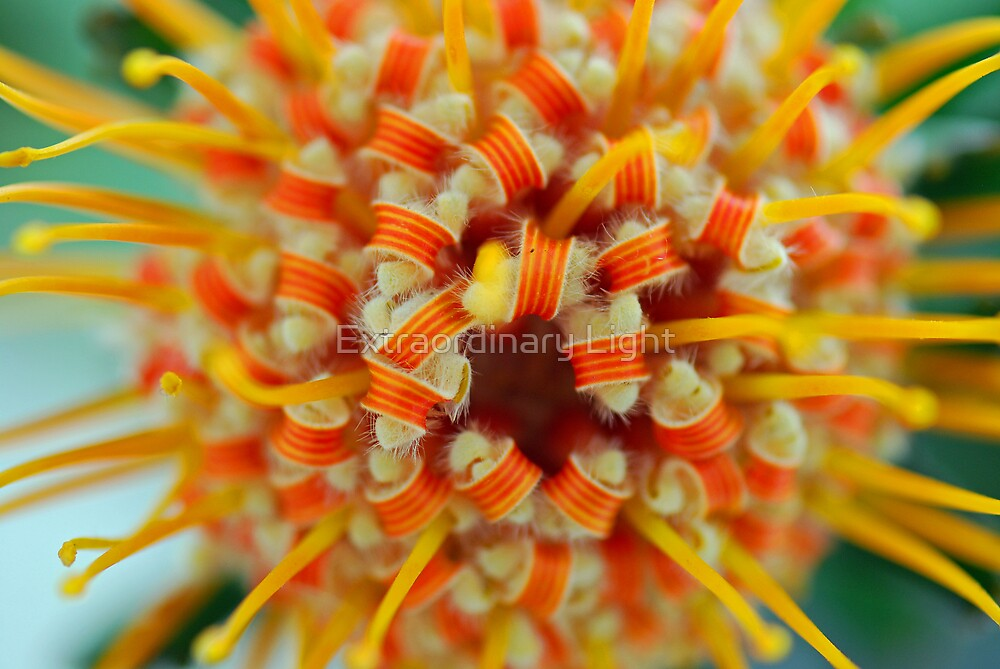 Orange Pincushion Protea Centre by Renee Hubbard Fine Art Photography