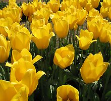 Yellow Tulips by Anthony Donohue