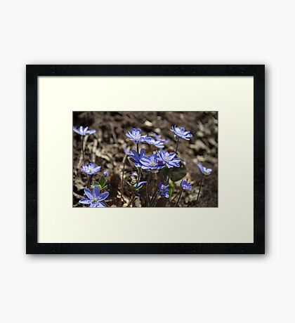 Blue Kidneywort Flowers Closeup Framed Print