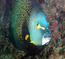french angelfish by Paola  Massa