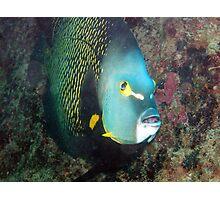 french angelfish Photographic Print