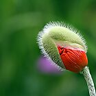 Poppy Bud  by BigD