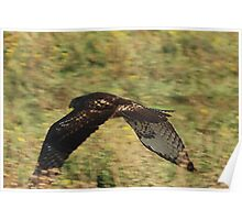 departing Red-tailed hawk Poster