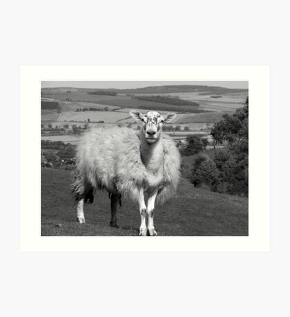 Northumbrian Sheep Art Print