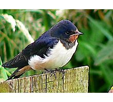 The Swallow Photographic Print