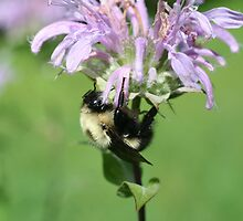 Bumble Bee On Bee Balm by SmilinEyes