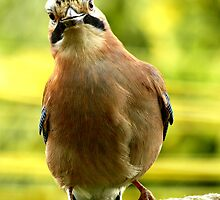 Eurasian Jay by kintired