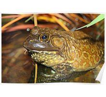 American Bullfrog Closeup and Personal Poster